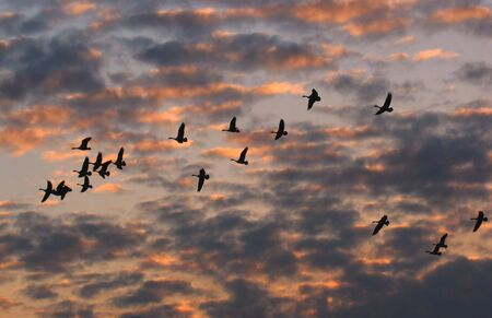 Canada Geese flying at sunset photo