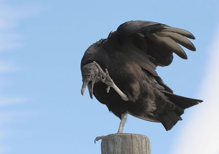 Black Vulture on a pole scratching an itch Stock Photo