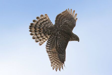 Juvenile Northern Goshawk soaring Stock Photo