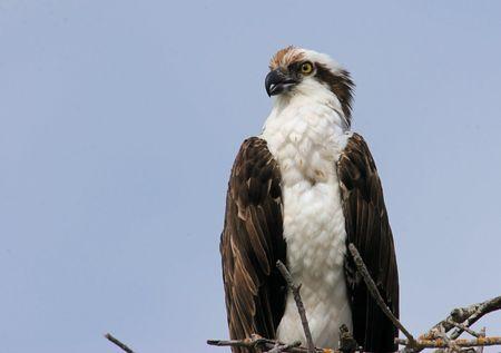 osprey: Osprey perched on a nest