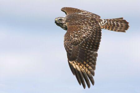 juvenile: Juvenile Red-shouldered Hawk soaring
