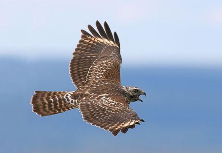 Juvenile Red-shouldered Hawk calling Stock Photo - 1805988