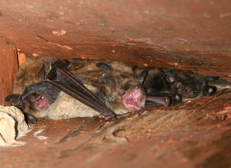 rafters: Little Brown Bats tucked up into the rafters Stock Photo