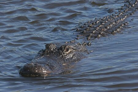 Alligator swiming in the Florida Everglades photo