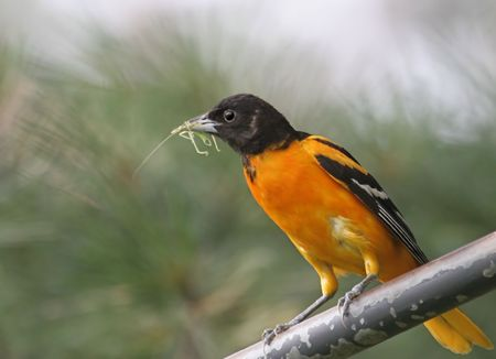 oriole: Northern Baltimore Oriole with a Grasshopper