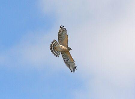 shouldered: Florida Red-shouldered Hawk