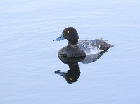 scaup: Lesser Scaup in the Florida Everglades