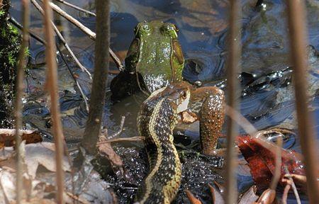 Garter Snake catching a Green Frog Stock Photo - 1877891