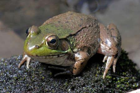 grenouille verte: Green Frog ensoleillement dans le Grand Marais