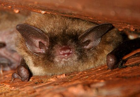 brown: Little Brown Bat under a roof in the Great Swamp NWR Stock Photo