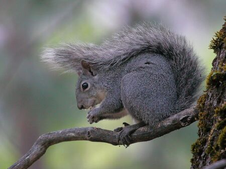 yosemite: Squirell using its tail as an umbrella in Yosemite National Park