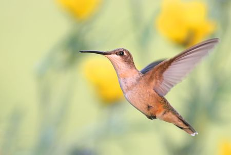 Ruby-throated Hummingbird and Yellow Flowers