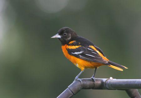 oriole: Male (Northern) Baltimore Oriole