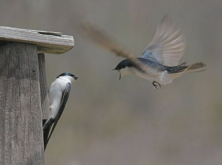 Tree Swallows fighting over a bird house photo