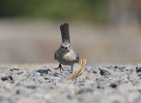 mockingbird: Northern Mockingbird and Praying Mantis