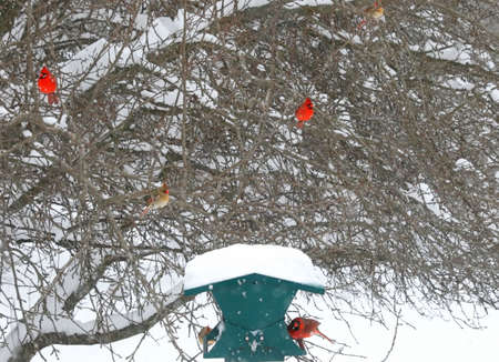 Cardinals in a snow storm 版權商用圖片