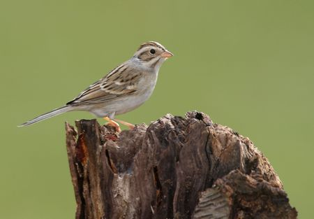 Clay-colored Sparrow on a stump