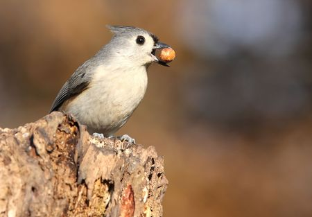 tufted: Tufted Titmouse with a peanut