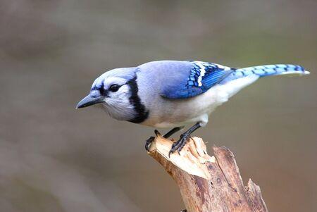 Blue Jay on a stump