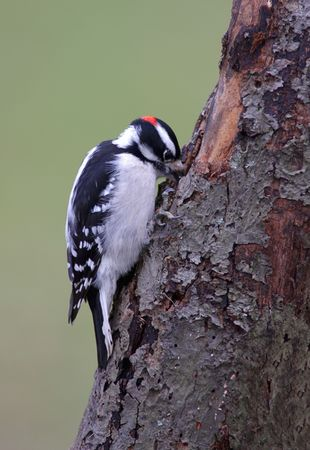 downy: Downy Woodpecker making a hole