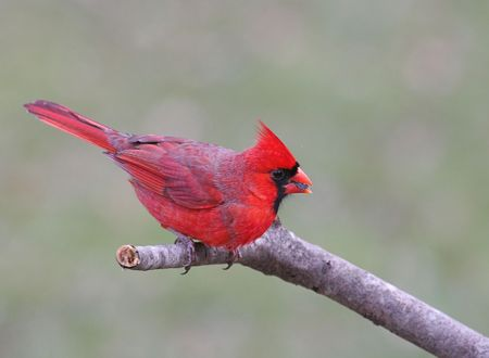 Male Northern Cardinal on a pine branch