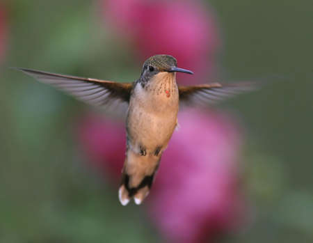 Ruby-throated Hummingbird in flight with purple flower background