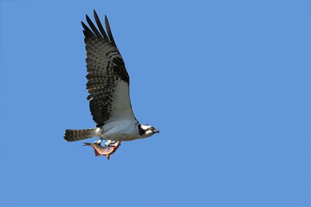 osprey: Osprey flying over the Pacific Ocean with a fish to take back to the nest