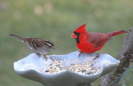 Cardinal and Sparrow on a bird feeder Stock Photo