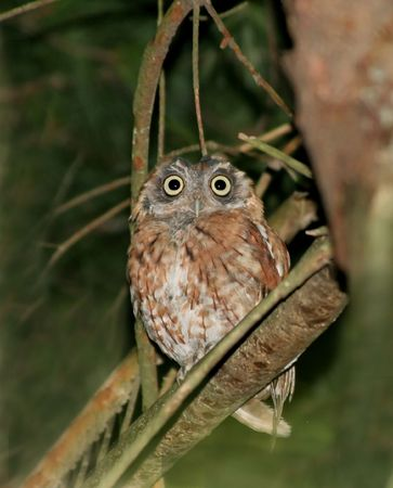 Eastern Screech Owl at night in early fall photo