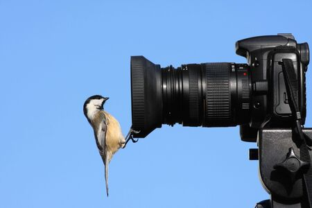 Black-capped Chickadee perched on the lens hood of a camera photo