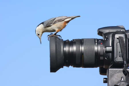 White-breasted Nuthatch perched on the lens hood of a camera