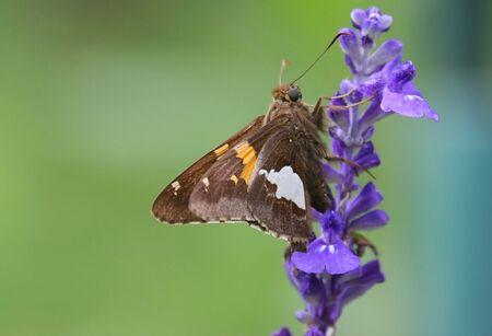 skipper: Skipper Butterfly on a purple flower Stock Photo