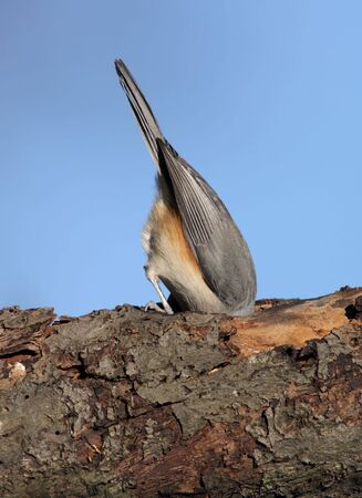 Tufted Titmouse doing an impression of an Ostrich