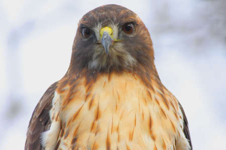 redtail: Close-up of a wild Red-tailed Hawk (buteo jamaicensis) with blood on his beak from an earlier meal (Great Swamp National Wildlife Refuge) Stock Photo