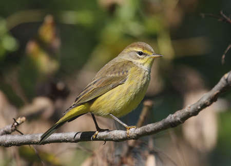 warbler: Palm Warbler (dendroica palmarum) in early fall Stock Photo