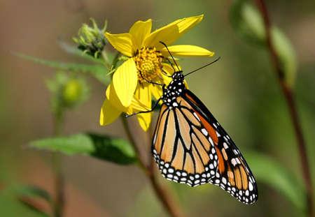 plexippus: Monarch Butterfly (danaus plexippus) on a yellow flower
