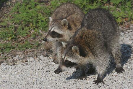 everglades:  Raccoons (Procyon lotor) in the Florida Everglades Stock Photo