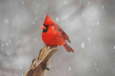 Northern Cardinal (cardinalis cardinalis) in a snow storm photo