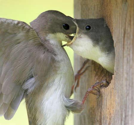 Mother Tree Swallow (tachycineta bicolor) feeding her  photo