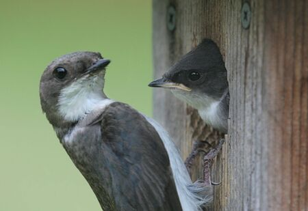 Tree Swallow (tachycineta bicolor) being fed by his mother photo
