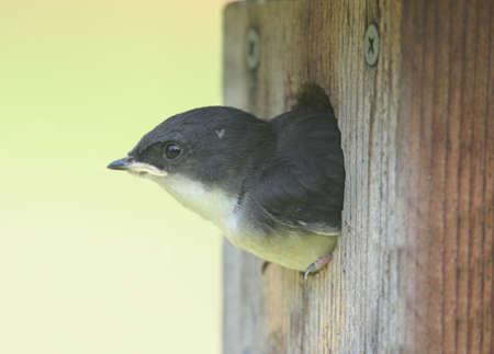 Tree Swallow (tachycineta bicolor) in a bird house photo