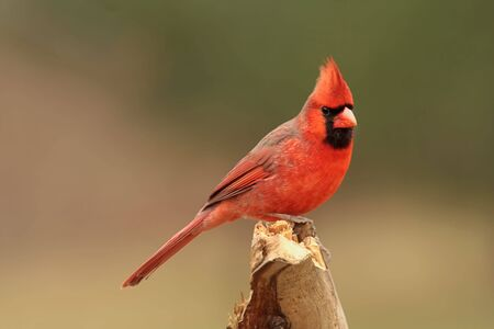 cardinal: Male Northern Cardinal (cardinalis cardinalis) on a stump Stock Photo