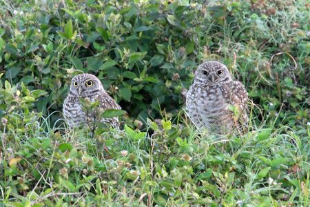 burrowing:  Burrowing Owls (athene cunicularia) in the Florida Everglades
