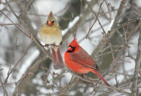 Pair of Northern Cardinals (cardinalis cardinalis) in a snow storm 스톡 콘텐츠