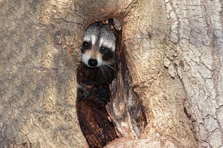 Raccoon (Procyon lotor) peeking out of a hole in a tree