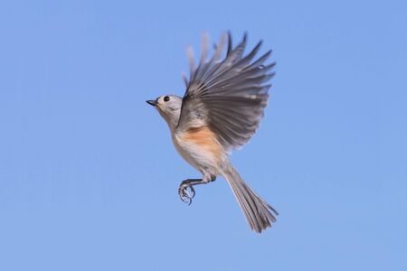 tufted: Tufted Titmouse (baeolophus bicolor) in flight Stock Photo