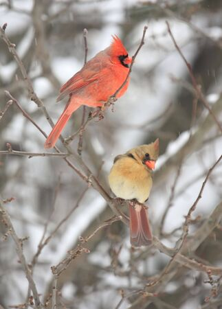 cardinal bird: Pair of Northern Cardinals (cardinalis cardinalis) in a snow storm Stock Photo