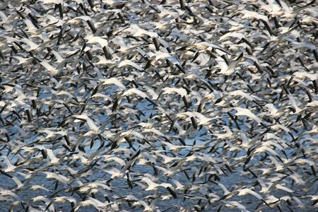 Large flock of Snow Geese (chen caerulescens) in flight Stock Photo - 2671266