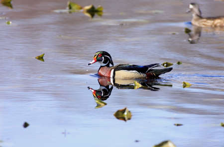 Wood Ducks (aix sponsa) Stock Photo - 2744213