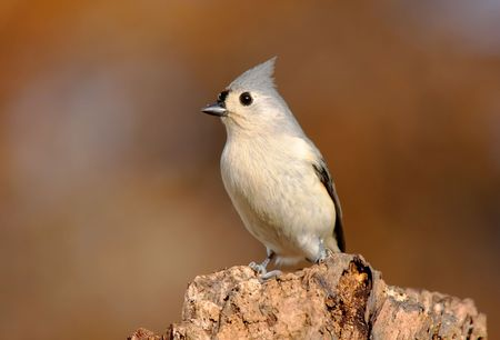Tufted Titmouse (baeolophus bicolor) with fall colors